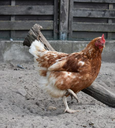 Schmidts Hof Garbsen Huhn 2