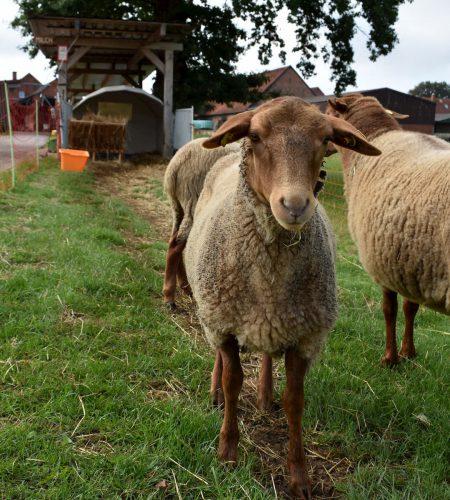 Schmidts Hof Garbsen Schafe