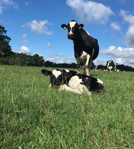Schmidts Hof Garbsen Kühe auf der Weide